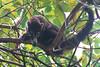White-nosed Coati (Nasua narica) (bayucca) Tags: costarica corcovado peninsuladeosa pizote nasuanarica parquenacionaldecorcovado weissnasenrüsselbär