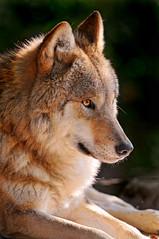 For the wolf fans... (Tambako the Jaguar) Tags: light dog zoo switzerland nikon wolf zurich posing canine explore zürich lying mongolian d300 vosplusbellesphotos