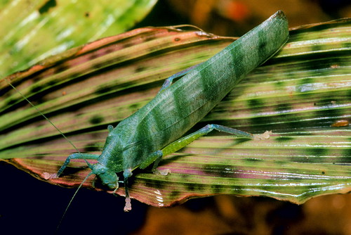 ? (Tettigoniidae, Phaneropterinae)