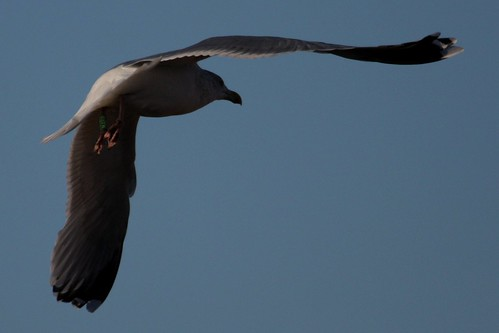 Herring Gull - Green M.ABW