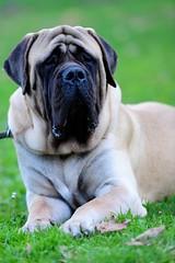 """Pluto ... my English Mastiff ... (Claudio Gennari ...""""Cogli l'attimo ferma il tempo"""") Tags: dog pet rome animal englishmastiff pluto 70200 bigdog 2470 giantdog largestdog claudiogennari niokond3"""