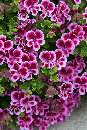 pelargonium veronica contreras close