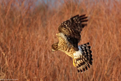 Northern Harrier on the Hunt (wfgphoto) Tags: northerharrier hunting earlymorninglight sharpturn willows goldenlight
