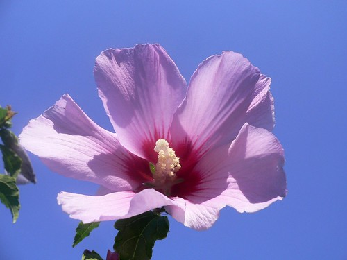 The National Flower Of South Korea Hibiscus Syriacus A Photo On Flickriver