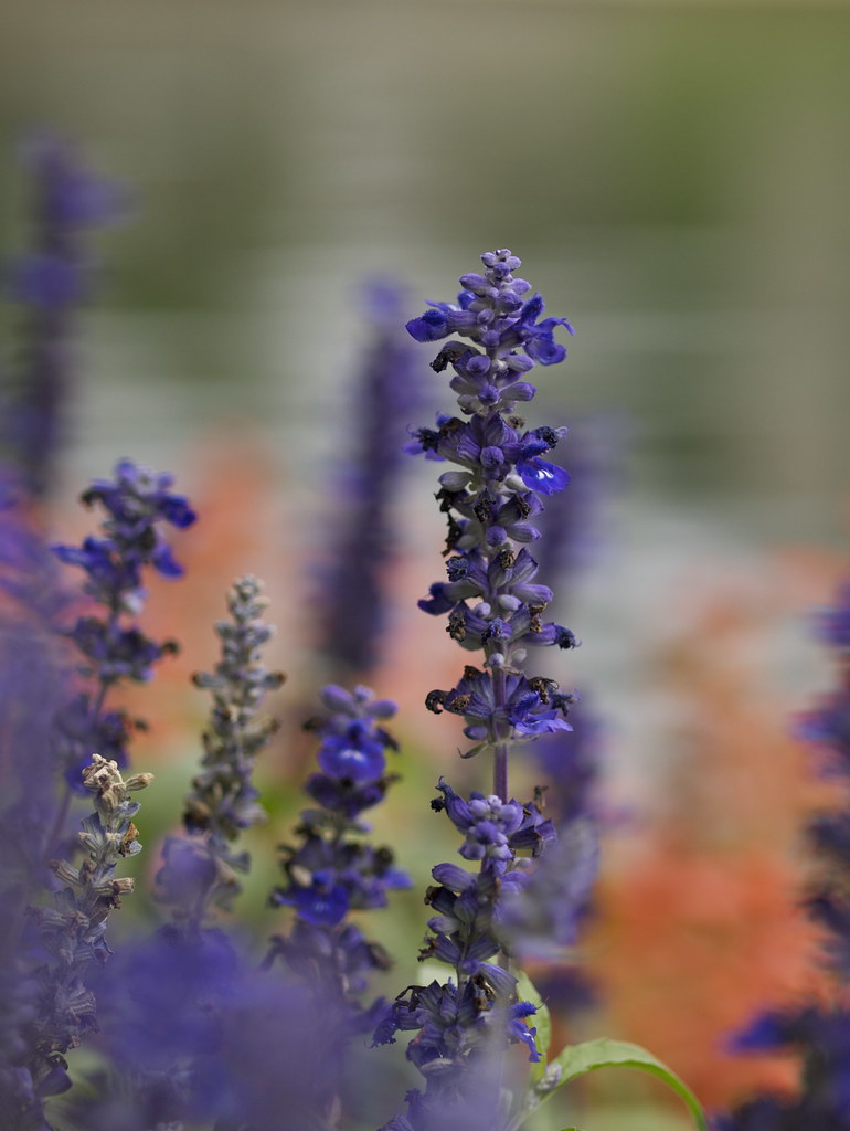 Salvia by the Water