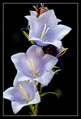 """The Bells"" (stevenbulman44) Tags: blue friends flower macro nature heart click contact campanula balloonflower topshots flickrsbest fantasticflower mywinners flickrsfantasticflowers thebestofmimamorsgroups hebestofmimamorsgroups naturpeople"