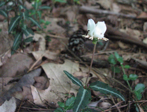 Spotted wintergreen is a native flower found in our Appalachian woodlands.