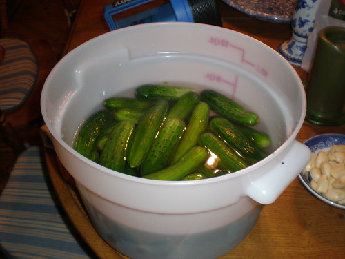 Last years batch of cucumbers soaking; the ones that lack the bumps were the inferior ones
