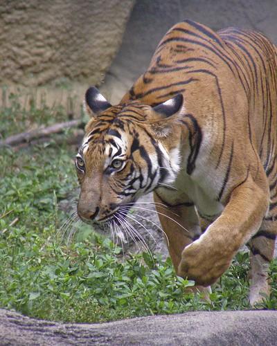 Malayan Tiger - On The Prowl