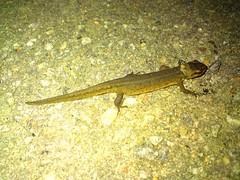 Swedish forest lizard (plastbitar) Tags: animal real lizard newt ödla viviparous skogsödla