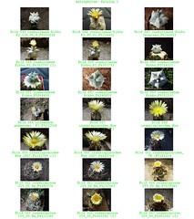 Bild 003 (sambucus2009) Tags: astrophytum kikko asterias superkabuto krausei