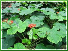 Jatropha podagrica, planted en masse at Rimba Ilmu Botanic Garden