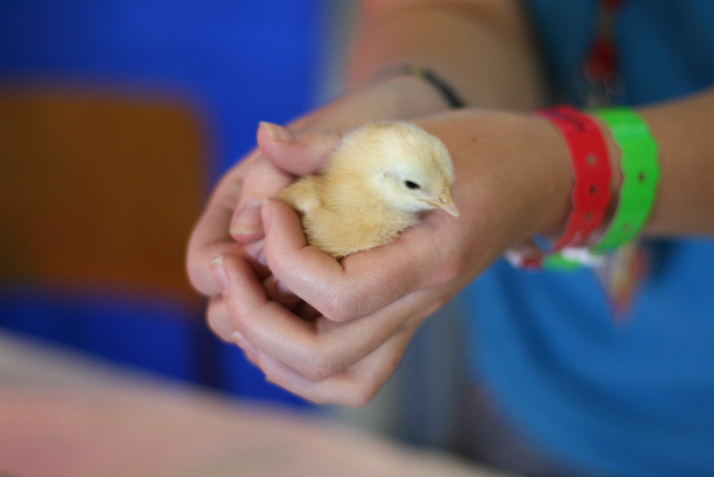5 day old chick