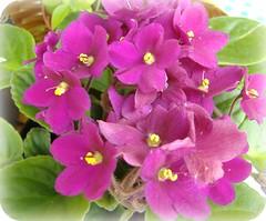 Quinta Feliz Flower... (Joana Joaninha) Tags: azul cu belohorizonte quintaflower feliz violeta joanajoaninha