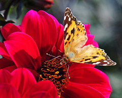 Addicted to Red (Habub3) Tags: dahlia red plant macro rot nature fauna butterfly germany deutschland photo search nikon stuttgart explore makro schmetterling paintedlady d300 killesberg dahlie dis