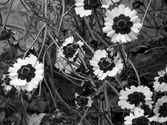 Lovely and Yellow - B&W (Reinalasol) Tags: flowers blackandwhite bw flores flower nature blackwhite petals flickr flor monotone april panama 2009 mbw mostlyblackandwhite petales april2009 mostlyblackwhite panama2009 reinalasol