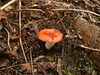 tiny toadstool (Anita Clapp) Tags: red horse orange plants green eye nature mushroom tomato outdoors alabama dirty panasonic gross boaz toadstool worms nasty ewwwww pests sandmountain fz50 gadsden cutworm lookoutmtn northeastalabama loamy