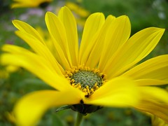 explosion (BeboQ feat. Los Bomberos) Tags: plant flower macro nature yellow natura petal makro przyroda kwiat rolina ty zblienie patki patek beboq