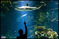 Look at The Shark.. (SHINE KWS) Tags: blue light sea look silhouette aquarium shark aqua shine sony kuwait alpha ahmad  ahmed kws q8  kwt    a700   alsaleh