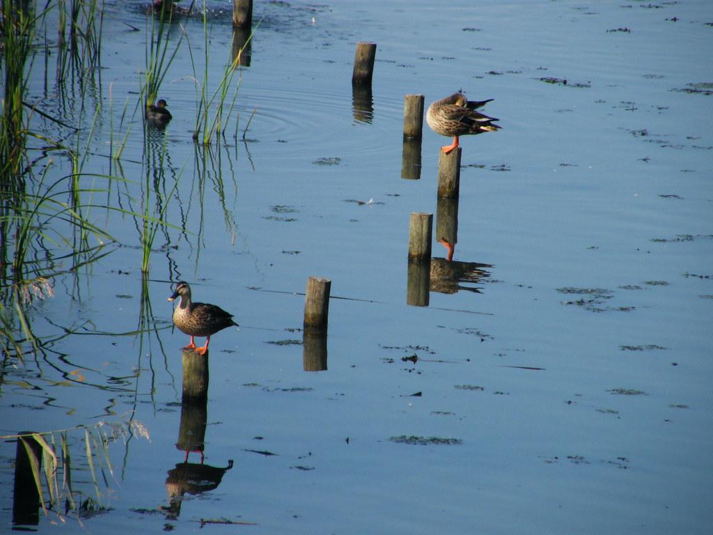 Ducks at Tenpaku Park