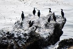 Point Lobos_10 09 09_48 (HBarrison) Tags: california bird birds carmel montereycounty centralcoast puntadeloslobosmarinos centralcoastcalifornia harveybarrison hbarrison pointlobosstatenaturalreserve