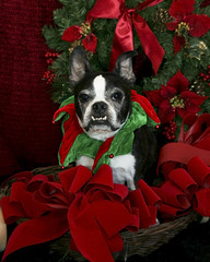 Christmas Sam ( Just me... ) Tags: christmas red portrait dog green boston puppy bostonterrier terrier wreath bows