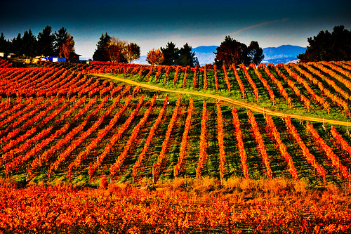 Fall colours in the vineyards