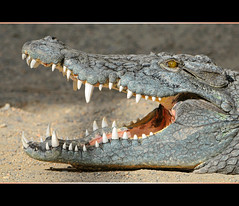 Crocodile with open mouth (Tambako the Jaguar) Tags: green eye mouth zoo switzerland nikon open reptile jaw teeth gray basel crocodile zolli d300 vosplusbellesphotos