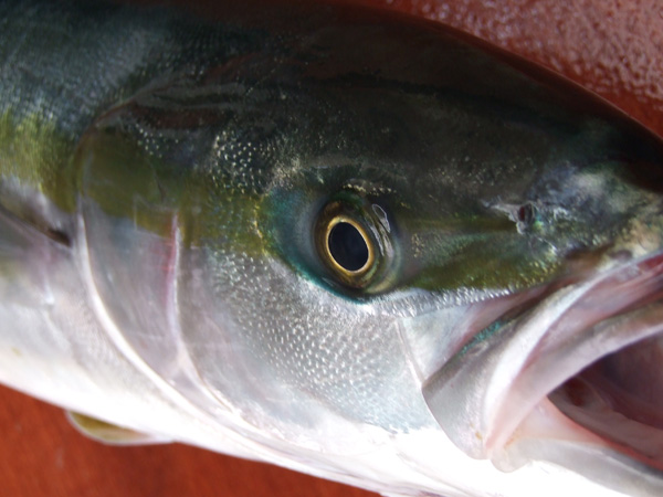 A yellowtail of the longline fishing