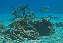 turtle cluster (bluewavechris) Tags: ocean life sea brown green water animal swim hawaii marine turtle reptile bue shell maui creature flipper