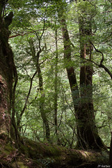 Yakusugi Land (jf garbez) Tags: voyage travel tree nature japan forest 35mm flora nikon asia unesco cedar vegetation  asie nikkor root arbre japon fort flore nationalgeographic racine vgtation cdre nikon35mm yakusugiland unescoworldheritagesites d80 nikond80 nikkor35mm patrimoinemondialdelunesco nikonpassion nikonflickraward updatecollection nikkor350mmf18 kyushuyakushima mygearandme