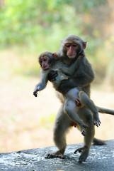 DSC_2816Formosan rock-monkey /  (terago) Tags: animal mammal monkey nikon taiwan kaohsiung tamron 90mm tamron90mm  d80  macacacyclopis