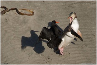 Howie and the oystercatchers - 4