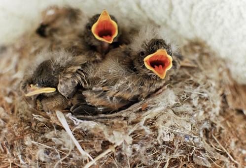 i found baby birds