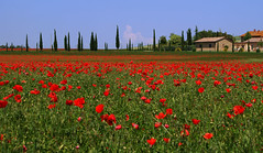 Tuscany (Massimo Valiani) Tags: flowers trees red sky italy cloud house green beautiful grass landscape countryside spring day quiet good sony pines tuscany poppy late rebirth massimo tuscan a350 valiani