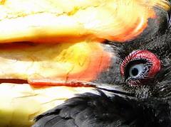"""""""dubbelneushoornvogel"""" """"hornbill"""" or something like that... (Ingrid Maaijen) Tags: hornbill avifauna dubbelneushoornvogel"""