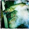 Pickerel aka Walleye (swanksalot) Tags: fish chicago wholefoods iced walleye iphone pickerel swanksalot sethanderson