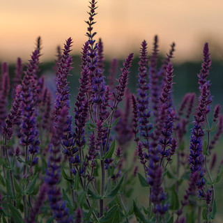 Woodland sage in the evening glow