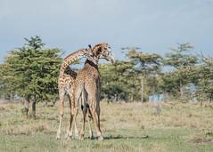 Ballet moves (Tris Enticknap (catching up)) Tags: kenya africa giraffe nikkor80400mmafslens nikond750 maranorthconservancy masaigiraffe