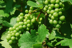 Raffaldini (NorthCarolinaWineTV) Tags: vineyard wine northcarolina winery grapes raffaldini northcarolinawinetv