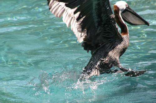 Pelican aquatic landing...