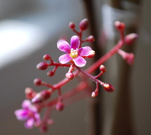 Starfruit Flower 2
