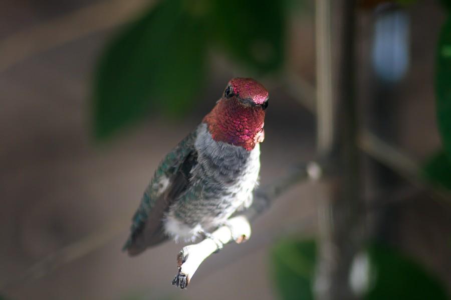 Anna's Hummingbird0707091