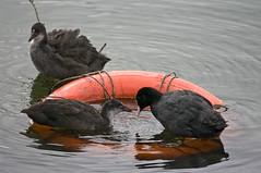 Life Preserver (Chalto!) Tags: orange bird hoop rail waterbird hampshire safety ring newforest coot lifesaver preserver blashford