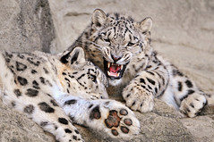 Let me and my mother alone!!! (Tambako the Jaguar) Tags: wild cute cat zoo switzerland big nikon feline funny zurich yawn kitty fluffy zrich lying snowleopard pissedoff felid d300 schneeleopard snowkitty uncia loparddesneiges panthredesneiges