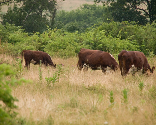 Uncooperative Cows