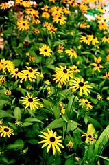 Burst of Yellow (mbtphoto (away a lot)) Tags: flowers nature digital garden nikon nikond50 picturesque distillery sinphotoshop oneearthonehomenaturephotos marybaileythomas reichgarden