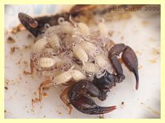 Euscorpius flavicaudis with sons (PheCrew) Tags: macro photoshop bug makro figli insetto sons phe chele scorpione veleno soken pungiglione aracnide aracnida macrolife euscorpiusflavicaudis