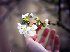 #328 August 27th (PaperTissue) Tags: pink flowers trees canon project lens cherry 50mm spring pretty hand phot
