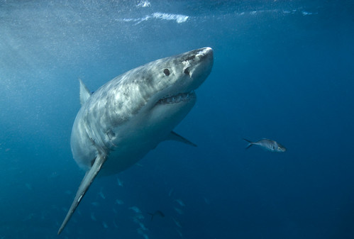 Great white up close